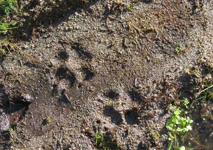 iberian wolves in portugal footprint